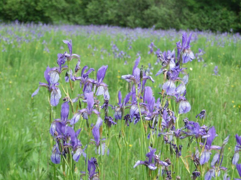 Iris sibirica (forrás: Soroksári Botanikus Kert)